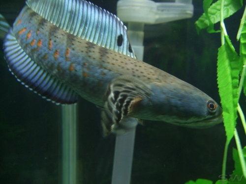 红宝石雷龙 雷龙鱼 鳢鱼 双栖鳢10~12cm (现货