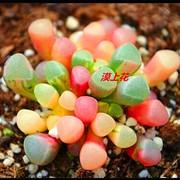 漠上花五十铃玉一物一拍多肉植物室内绿植开花植物吸甲醛满