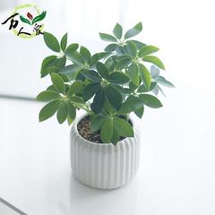 鸭脚木盆栽鹅掌柴客厅室内桌面吸甲醛鸭掌木防辐射绿色植物七叶莲