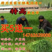 墨西哥玉米草种子黑麦草牧草种子紫花苜蓿苏高丹皇竹草四季多年生