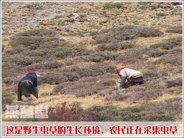 虫草的生长环境:青海,农民正在采集